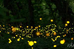 """06 giugno – Corriere.it: """"Il Parco delle Cave s'illumina di lucciole"""""""